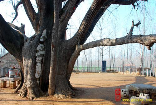 径2.52米,大树旁侧长出一株子树 到秋季,古树果实累累.树木主干